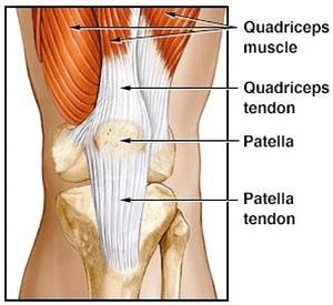 Illustration of Tendons in Quadriceps and Patella