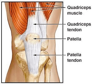 Illustration of Tendons in Quadriceps and Patella