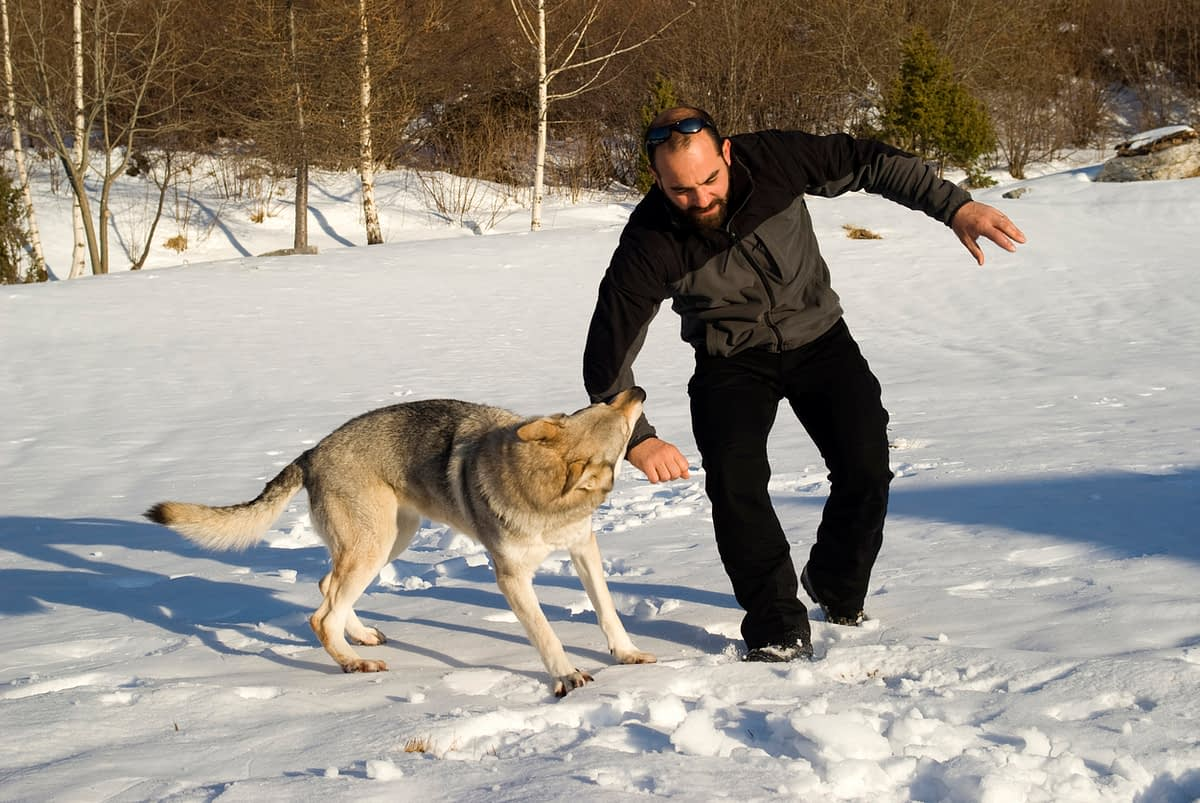 wolf dog attacking a man's arm