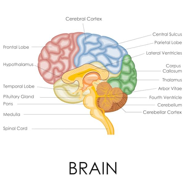 Representation of different regions of the brain