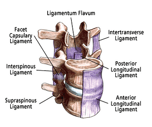 ligaments of spinal cord